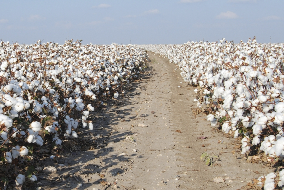 Cotton Field with Road